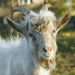 Last Minute Charitable Gift Idea: Get 'Em a Goat!