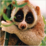 Daily Dose of Adorable: Spotlight on Slow Loris
