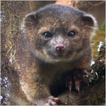 Daily Dose of Adorable: Meet the Newly Discovered 'Olinguito'