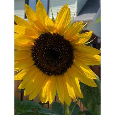 Veseys bee friendly sunflower seeds mix