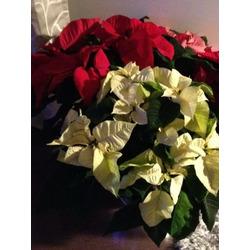 Costco - Beautiful Christmas Pointsettias