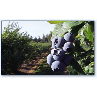 Driediger Farms Blueberries