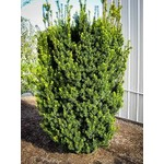 Home Depot yew plant